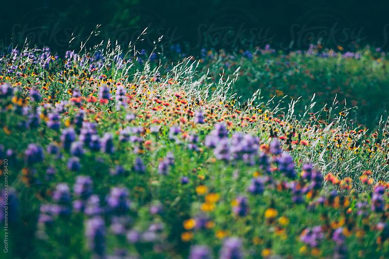 Central Texas Wildflowers by Geoffrey Hammond for Stocksy United