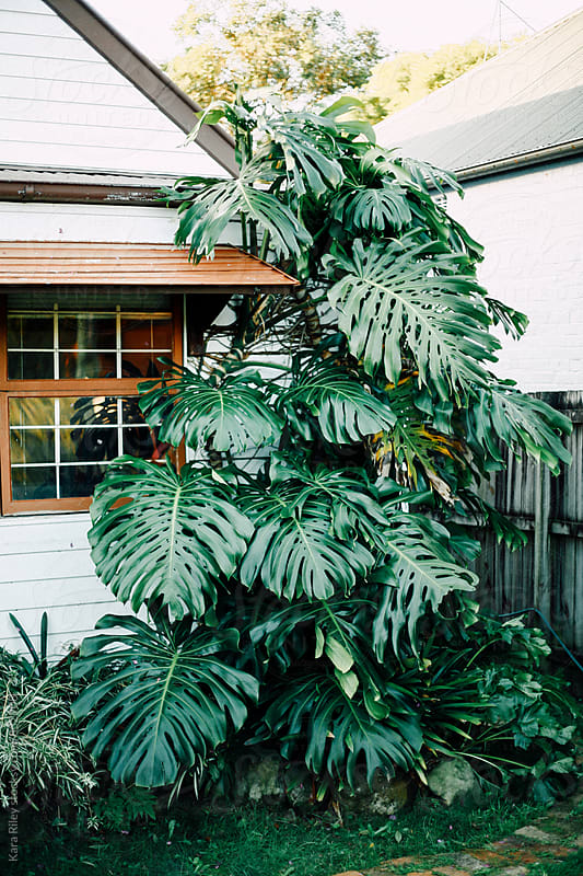 Front Yard Monstera by Kara Riley for Stocksy United
