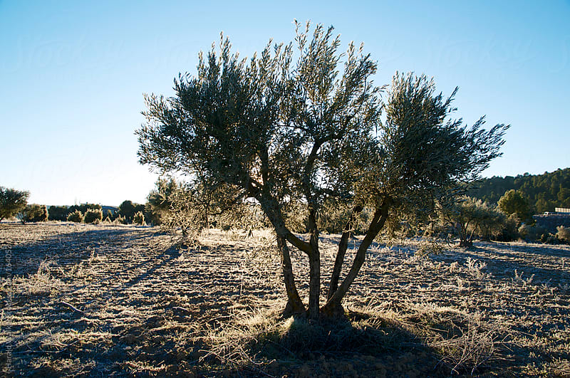Frosted olive grove by Harald Walker for Stocksy United