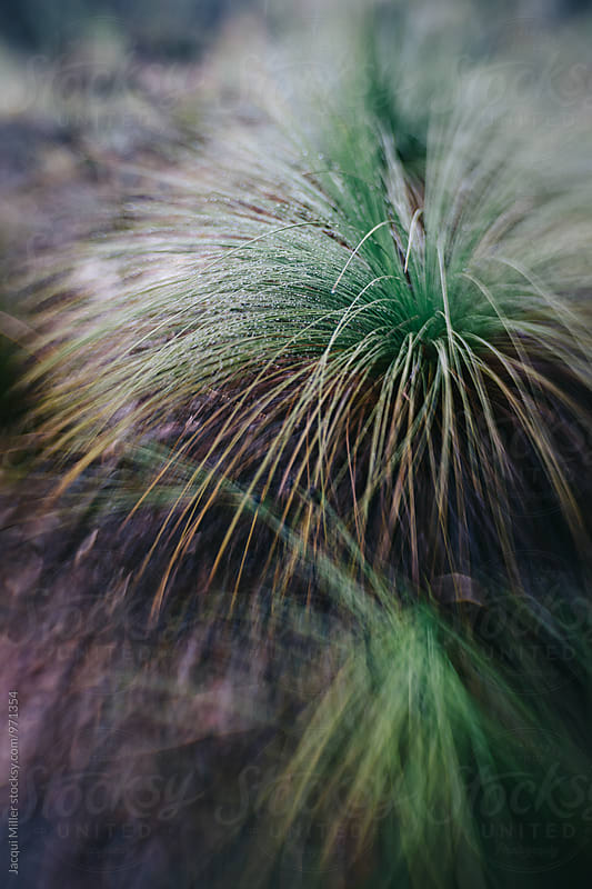 Australian native grass tree Xanthorrhoea, vertical, shot with specialty lens by Jacqui Miller for Stocksy United