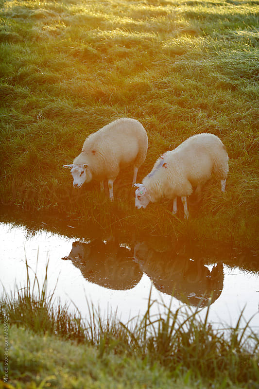 Two sheep looking at the water in a ditch by Marcel for Stocksy United