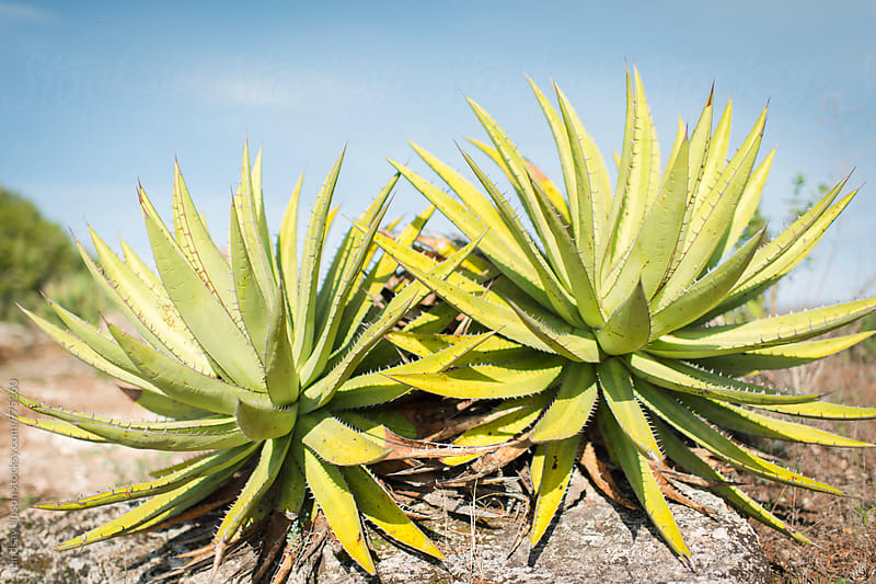 Agave Twins by Lindsay Upson for Stocksy United
