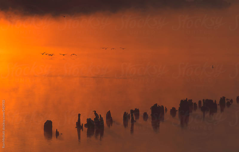 Predawn wharf pilings double-crested cormorants (Phalacrocorax auritus) flying perched sunrise by Ron Mellott for Stocksy United