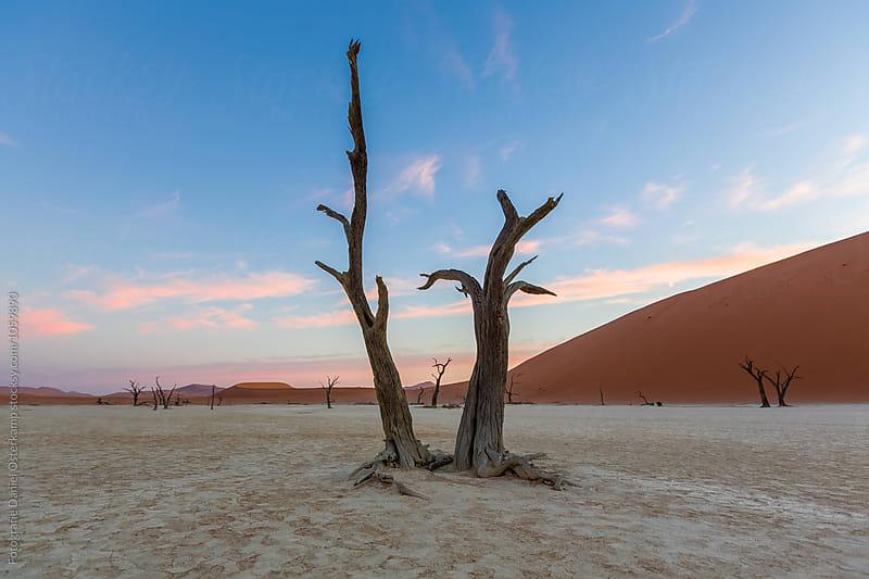 Camel Thorn Trees at Deadvlei during sunset over dunes, Namibia, Africa by Fotografie Daniel Osterkamp for Stocksy United