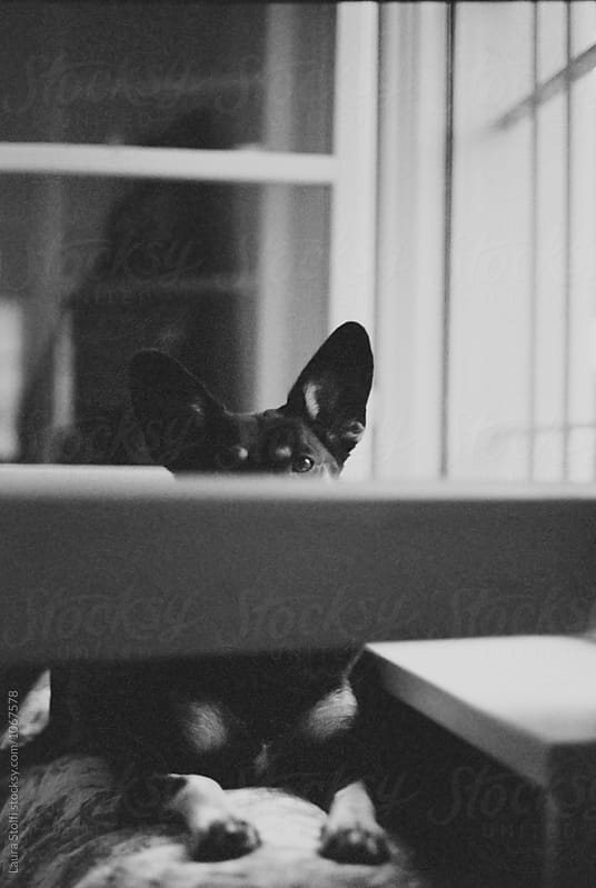 Peek-a-boo: dog looking at the camera while hiding behind open window by Laura Stolfi for Stocksy United