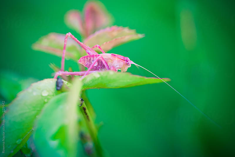 Pink Grasshopper on Rose Bush by Rowena Naylor for Stocksy United