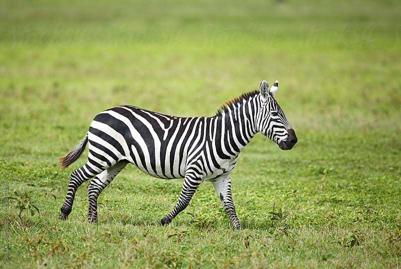 Zebra by Paul Tessier for Stocksy United