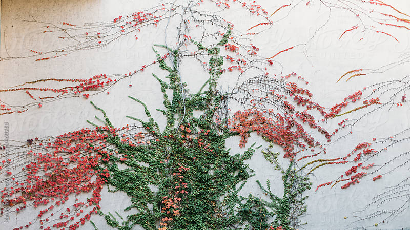 Green and red plant over the wall by Marko Milovanović for Stocksy United