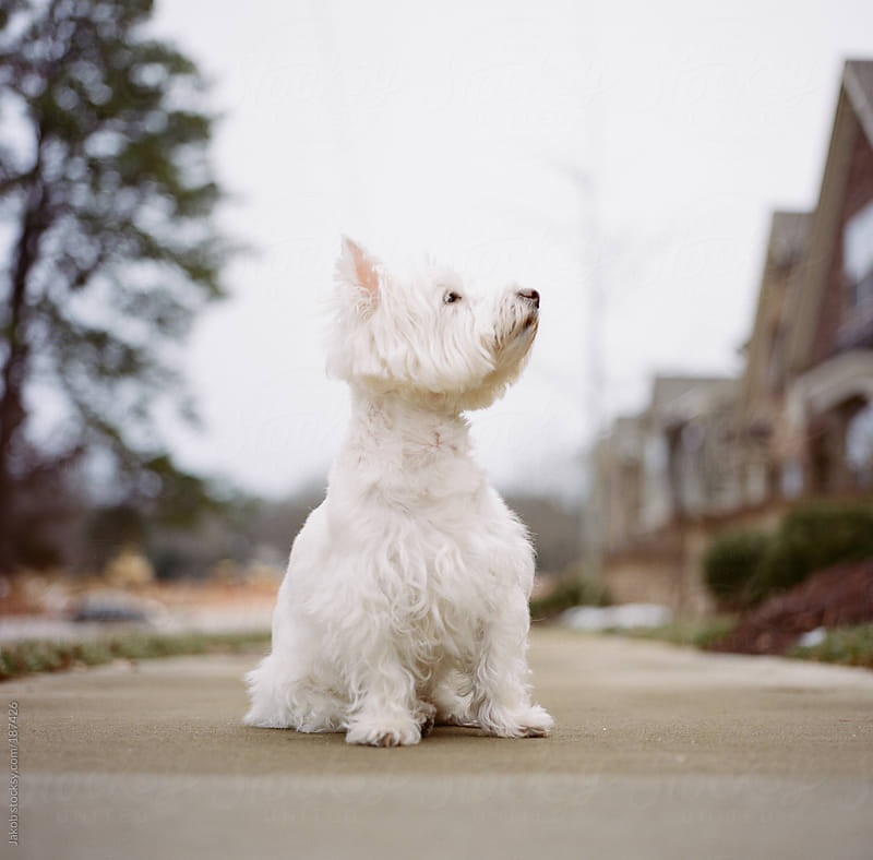 A cute white dog sitting on a sidewalk by Jakob for Stocksy United