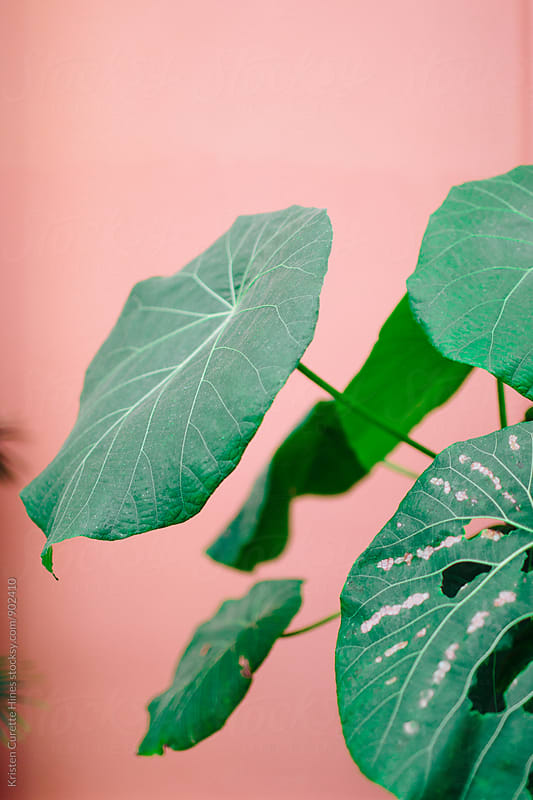 Large green philodendron leaves on a pink background  by Kristen Curette Hines for Stocksy United