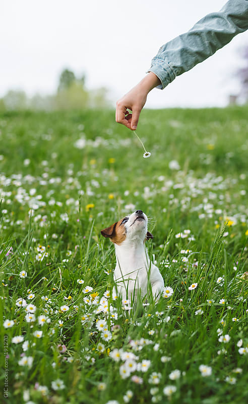 Jack Russell puppy having fun in the grass by GIC for Stocksy United