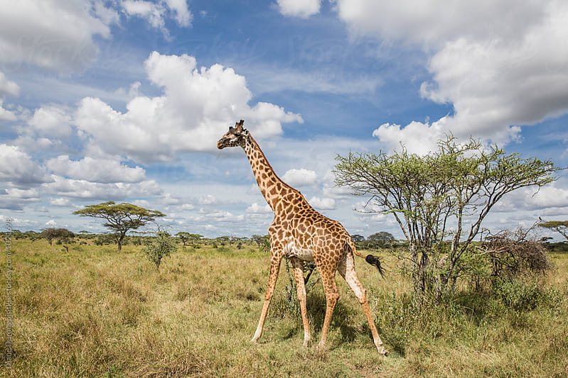 Giraffe and the Savannah by Diane Durongpisitkul for Stocksy United