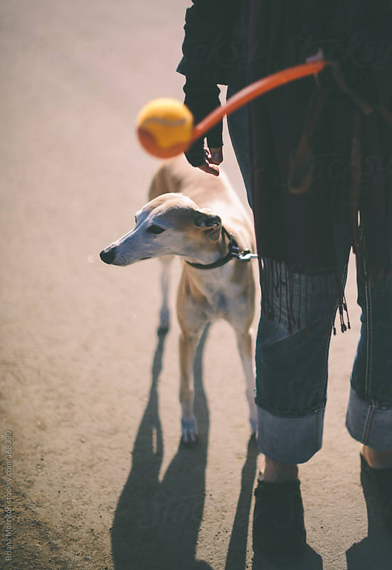 Tan Whippet Dog with a Person and Orange Ball in Daylight by Briana Morrison for Stocksy United