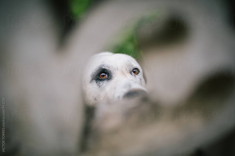 Dog Looking Through a Fence by Victor Torres for Stocksy United