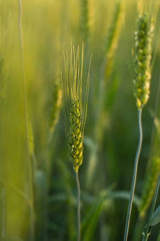 Green wheat field and sun by Gabriel Diaz for Stocksy United
