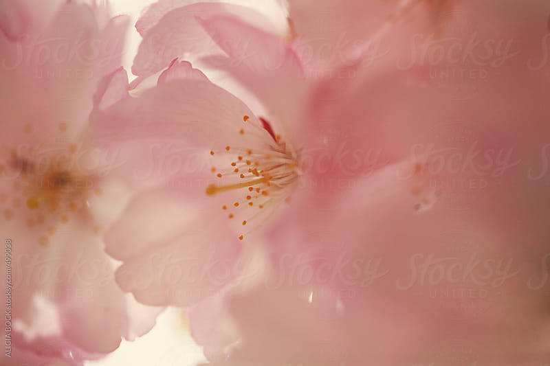 Close Up Of A Pink Cherry Blossom by ALICIA BOCK for Stocksy United