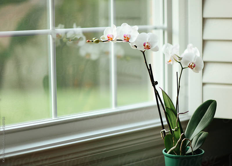 orchid in front of a window by Kelly Knox for Stocksy United
