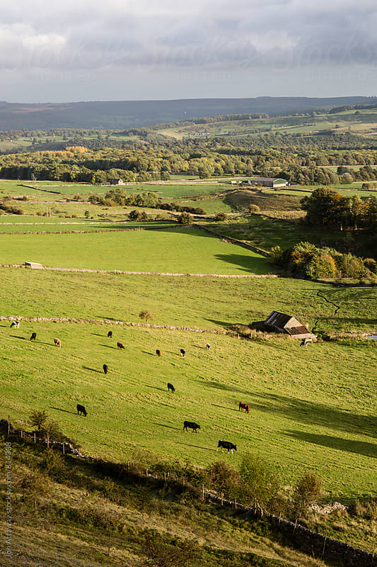 Portrait view of Derbyshire farmland, with cattle grazing in the field. by Jon Attaway for Stocksy United