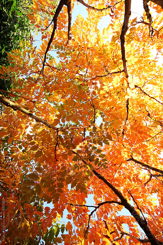 Looking up at a tree with leaves in vibrant autumn colors by Marcel for Stocksy United