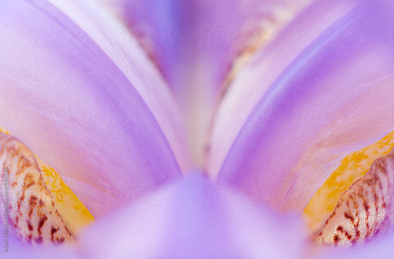 Iris blossom abstract by Mark Windom for Stocksy United