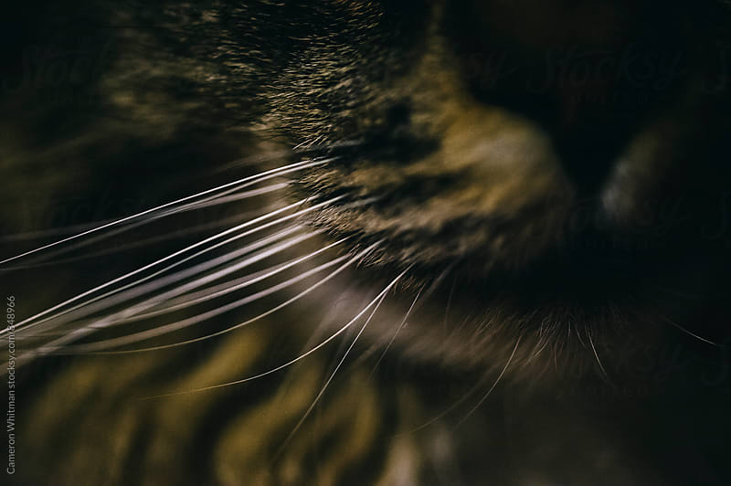Cat Whiskers by Cameron Whitman for Stocksy United