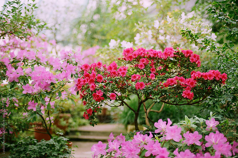 Azalea in blossom in a greenhouse by Lyuba Burakova for Stocksy United