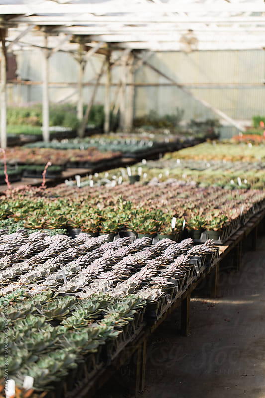 Succulents growing in a nursery  by Amy Covington for Stocksy United