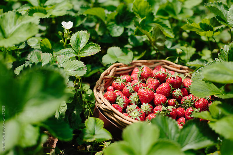 basket of fresh strawberries in patch by Brian Powell for Stocksy United