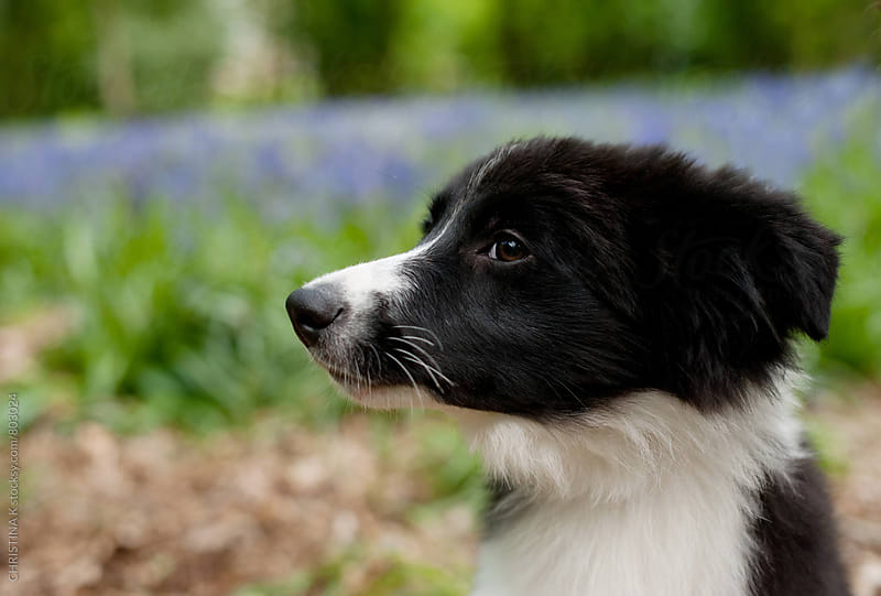 Border Collie Puppy by CHRISTINA K for Stocksy United