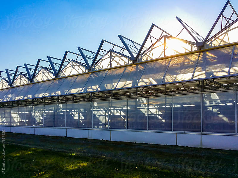Row of Large Industrial Greenhouses on Agricultural Farm with Sun and Blue Sky by JP Danko for Stocksy United