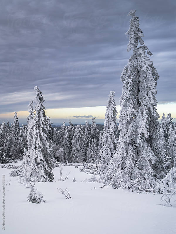 Snow covered landscape with forest by Andreas Wonisch for Stocksy United