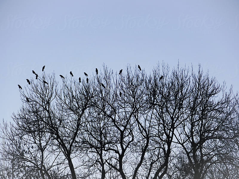 Several black crows sitting on tree crown by rolfo for Stocksy United