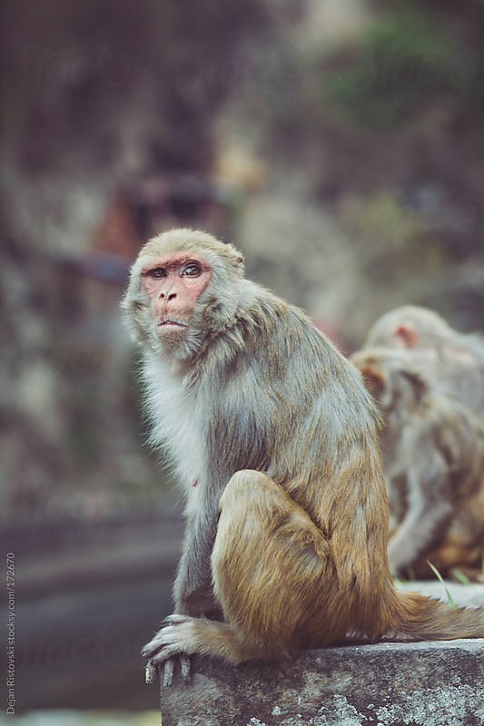 Macaque monkey standing in nature by Dejan Ristovski for Stocksy United