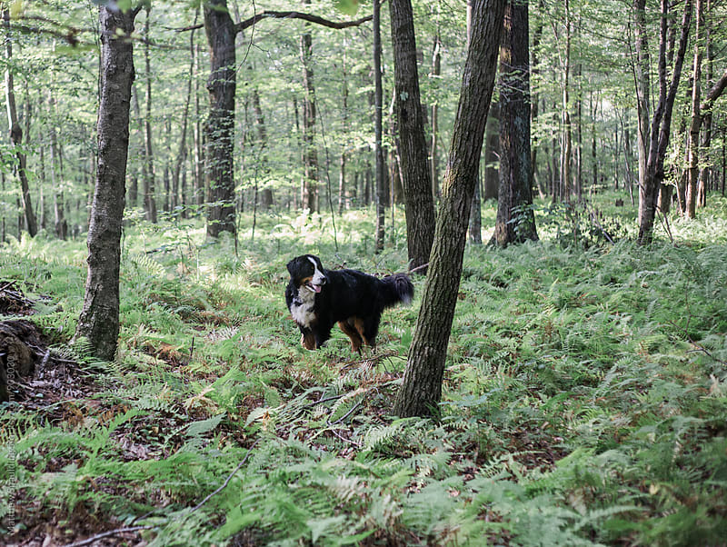 Bernese Mounatin Dog alone in forest by Matthew Spaulding for Stocksy United