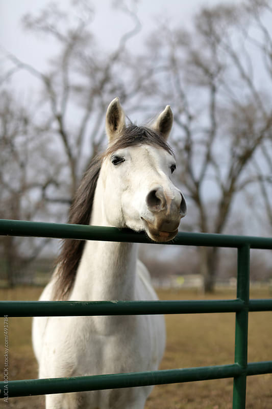 A White Horse Looks Over A Fence  by ALICIA BOCK for Stocksy United