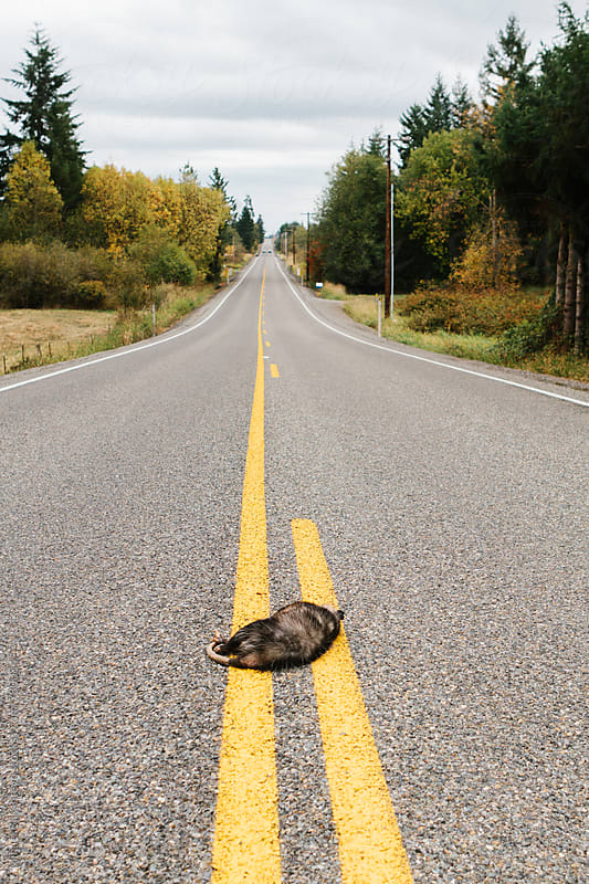 Dead opossum on they yellow divider lines in the middle of a rural road by Mihael Blikshteyn for Stocksy United