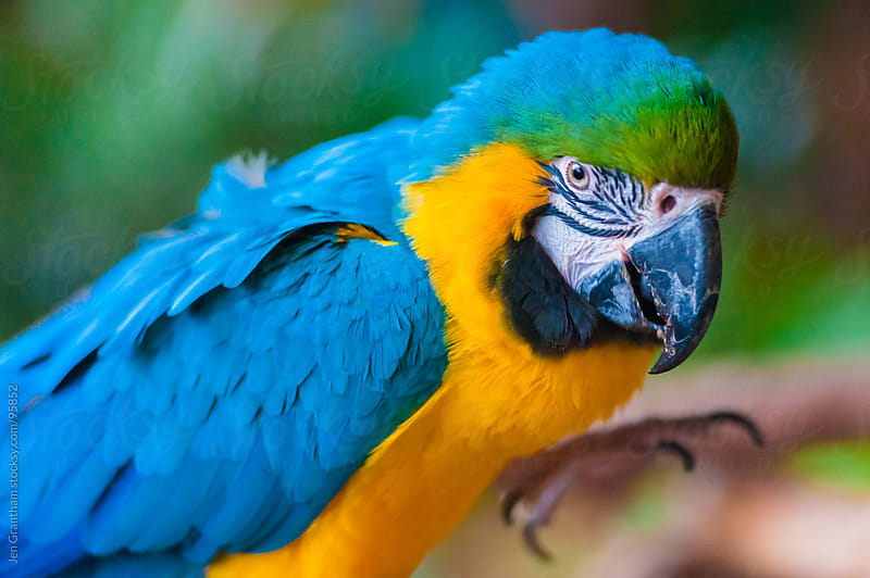 Blue and gold macaw by Jen Grantham for Stocksy United