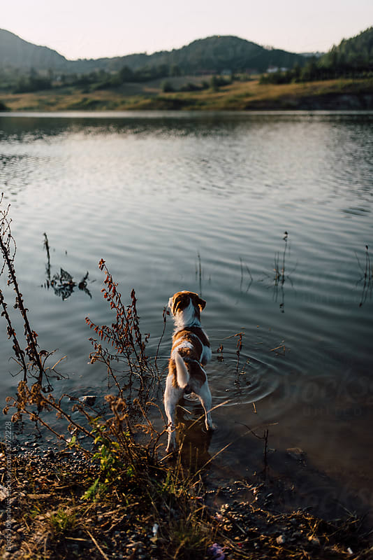 Dog standing in the lake by Boris Jovanovic for Stocksy United