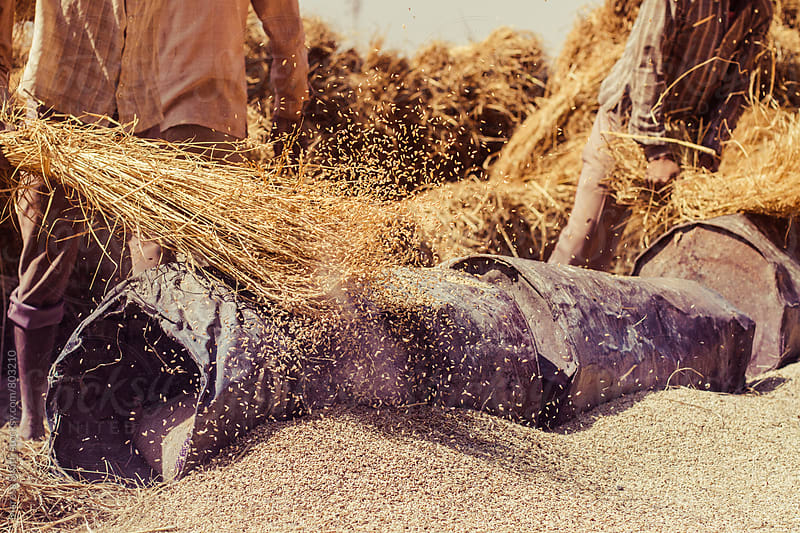 Close up of rice threashing during harvest in Kashmir, India by Maresa Smith for Stocksy United