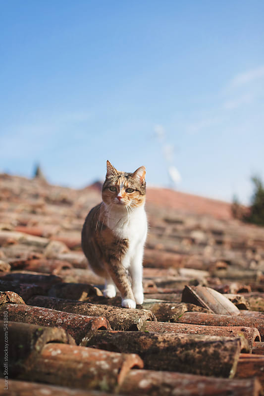 Calico cat exploring shingle roof in bright day by Laura Stolfi for Stocksy United