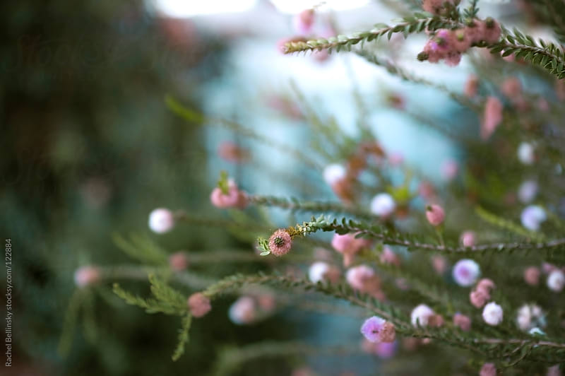 Long, thin green branches with small pink blooms against a blue sky by Rachel Bellinsky for Stocksy United