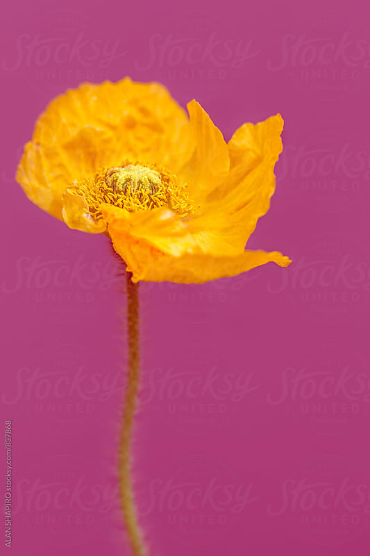 Icelandic Poppy by alan shapiro for Stocksy United