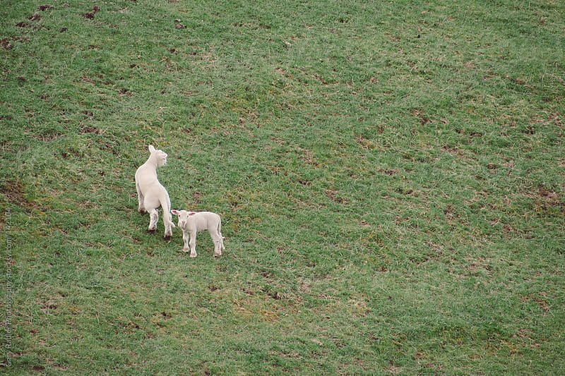 Two Lambs with Tails on the Side of a Hill by Gary Radler Photography for Stocksy United