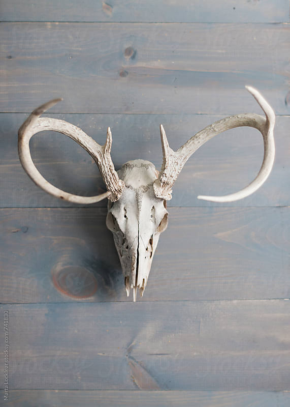 Deer skull with antlers on grey wood wall by Marta Locklear for Stocksy United