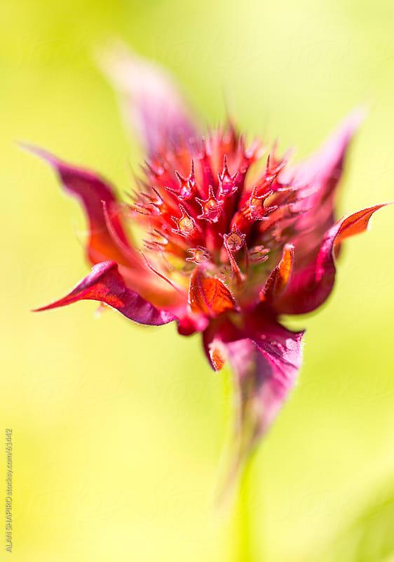 Bee Balm by alan shapiro for Stocksy United