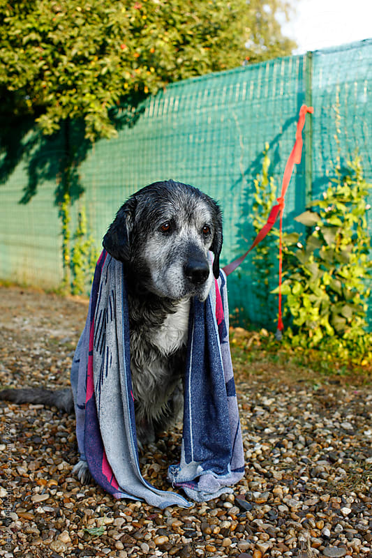 Sad big dog after bath by Bratislav Nadezdic for Stocksy United