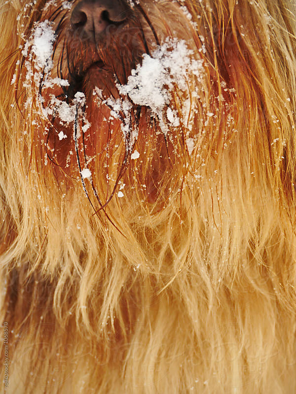 Close-up of dog's muzzle in snow by rolfo for Stocksy United