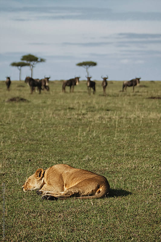 Lioness napping by aaronbelford inc for Stocksy United