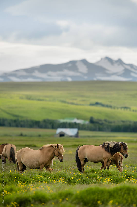 icelandic horses by Andreas Gradin for Stocksy United