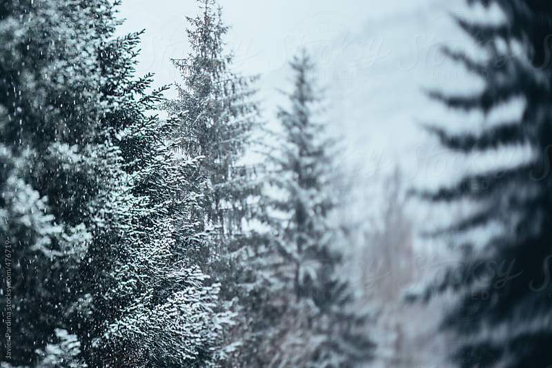 group of trees with snow at winter by Javier Pardina for Stocksy United